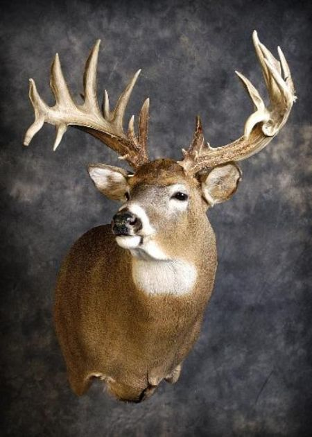 36 Whitetail Deer