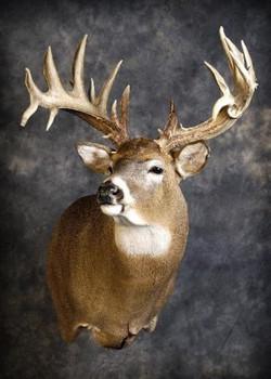 36 Whitetail Deer