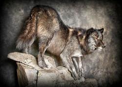 25 Black Wolf