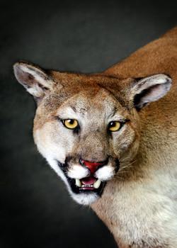 14 Mountain Lion