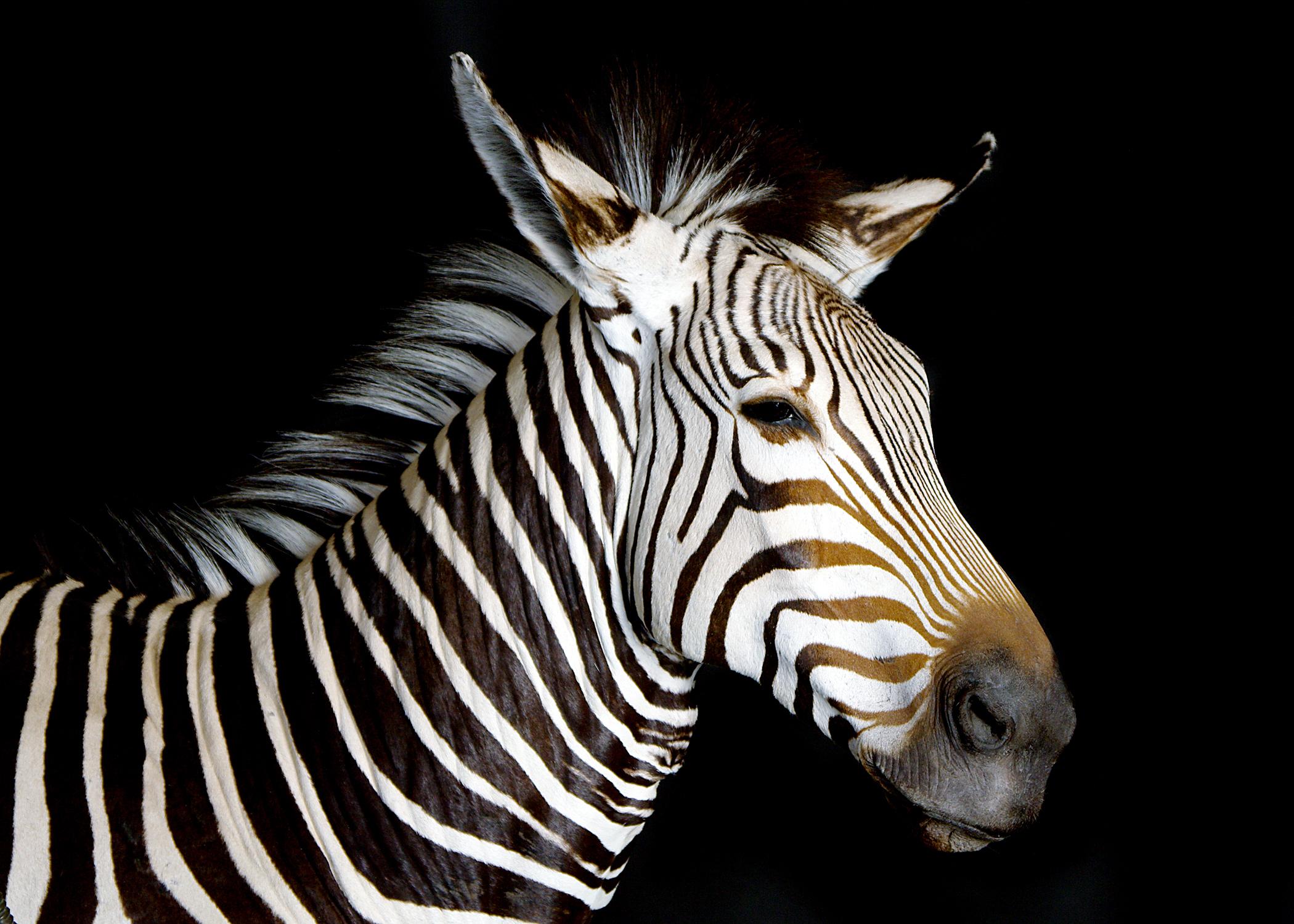 44 Zebra