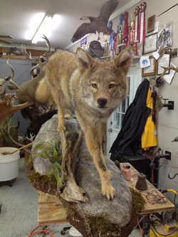 10 Coyote | Life Size On Rocks