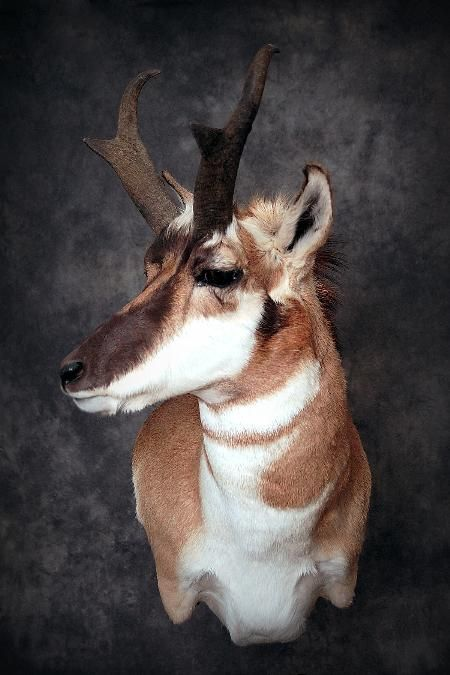 37 Pronghorn Deer