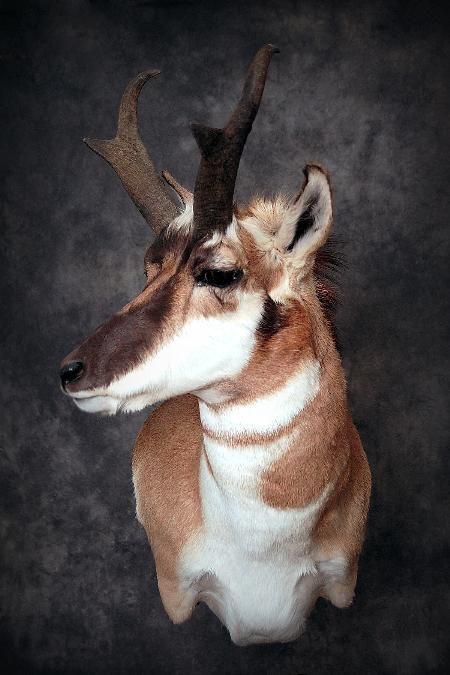 37 Pronghorn Deer