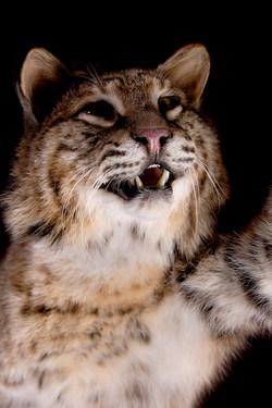 8 Bobcat | Grouse