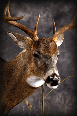 18 Whitetail Deer