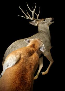 28 Mountain Lion   Mule Deer