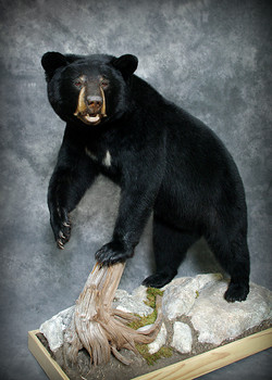 25 Coastal Black Bear