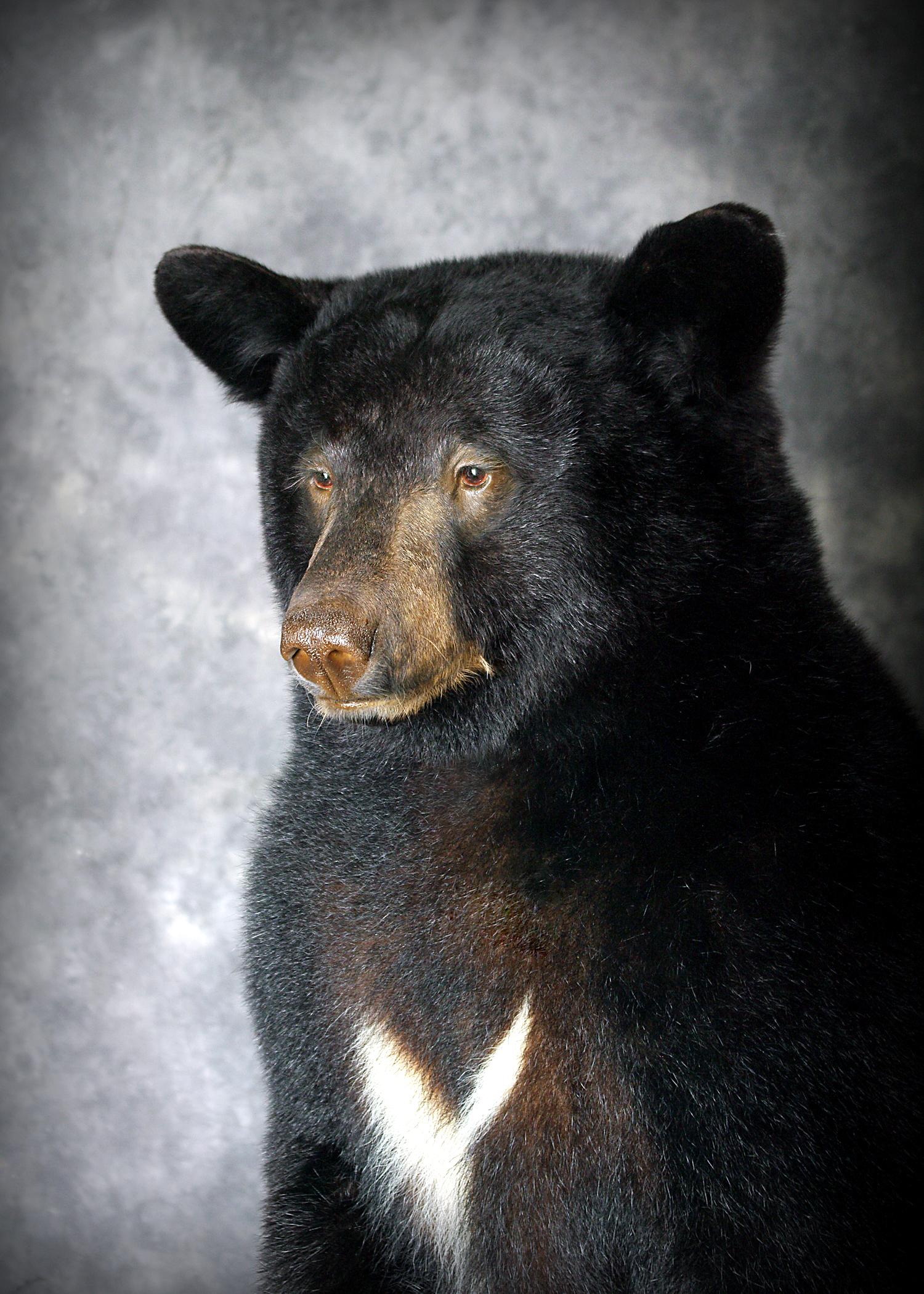 39 Coastal Black Bear