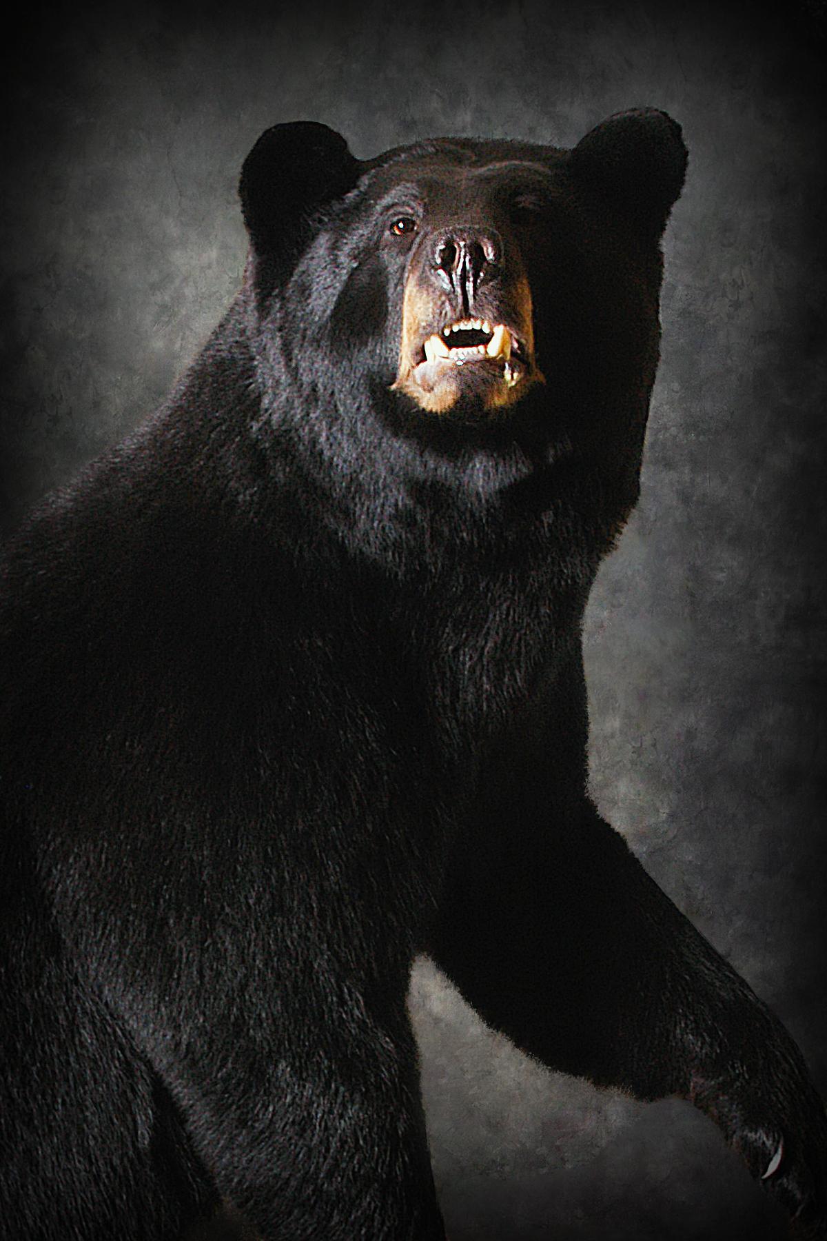6 Michigan Black Bear