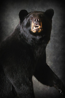 6 Michigan Black Bear