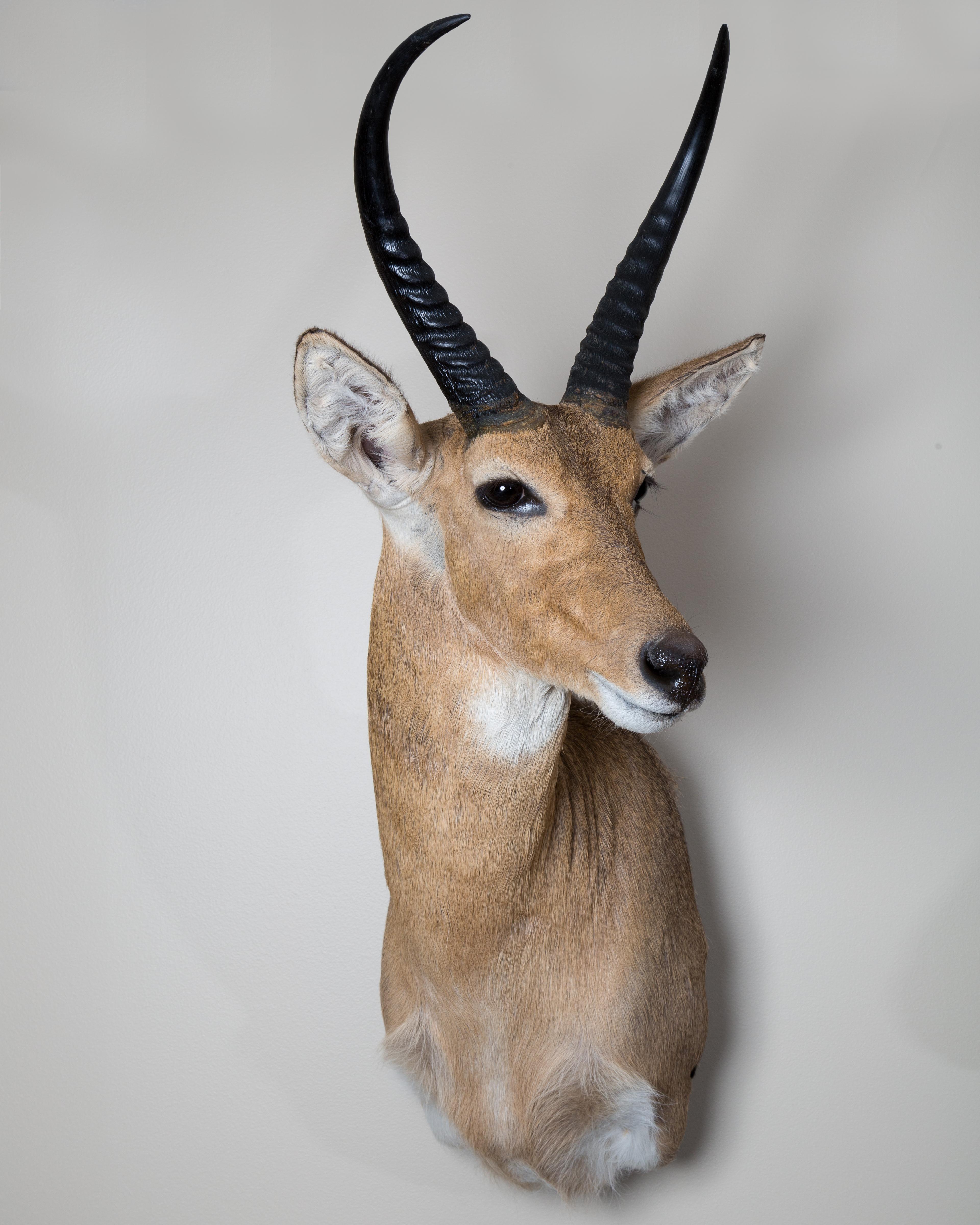 31 Red Buck
