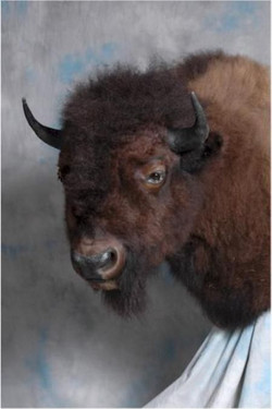 265-buffalo-shoulder-mount