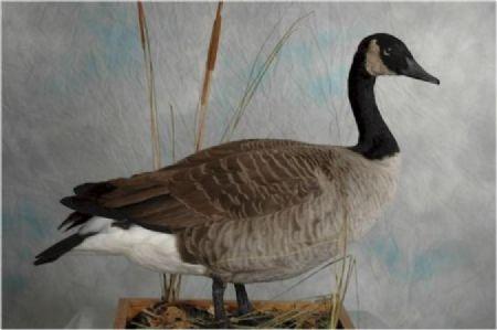 16 Canadian Goose