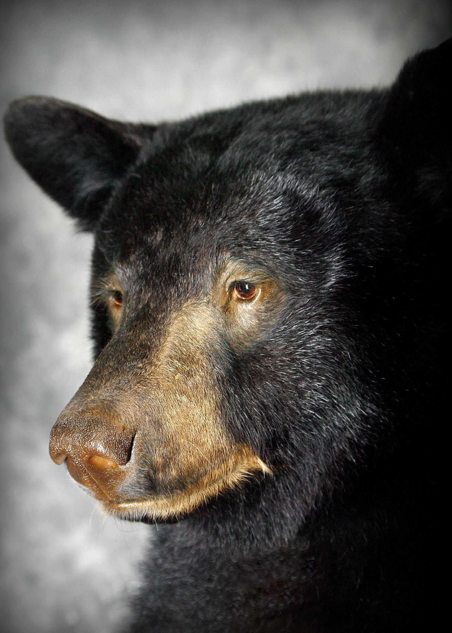42 Coastal Black Bear