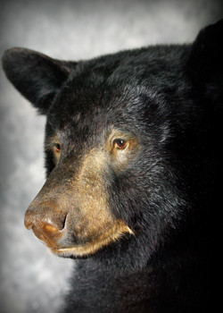 42 Coastal Black Bear