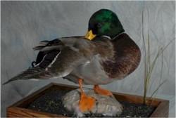 23 Mallard Duck