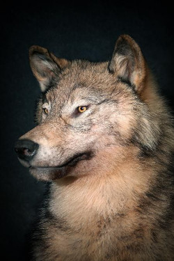 147-coyote