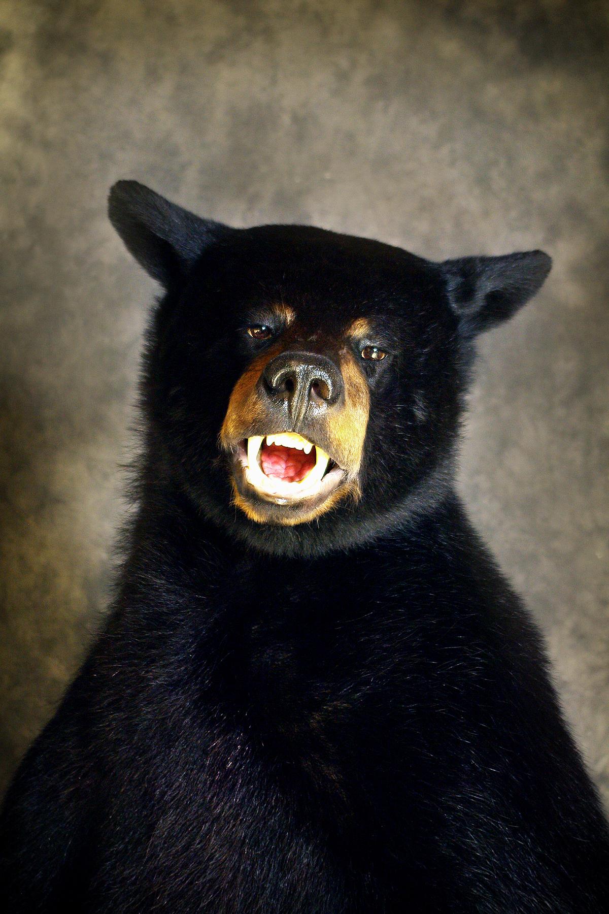 49 American Black Bear