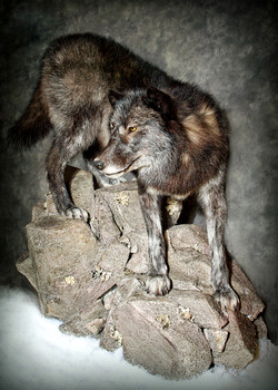 26 Black Wolf