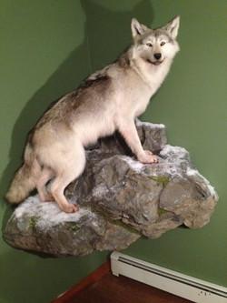 8 Wolf on Corner Rock Installed