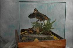 20 Woodcock