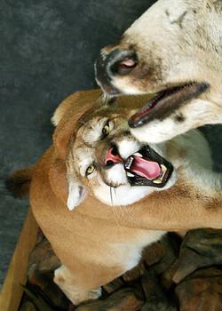 30 Mountain Lion   Mule Deer