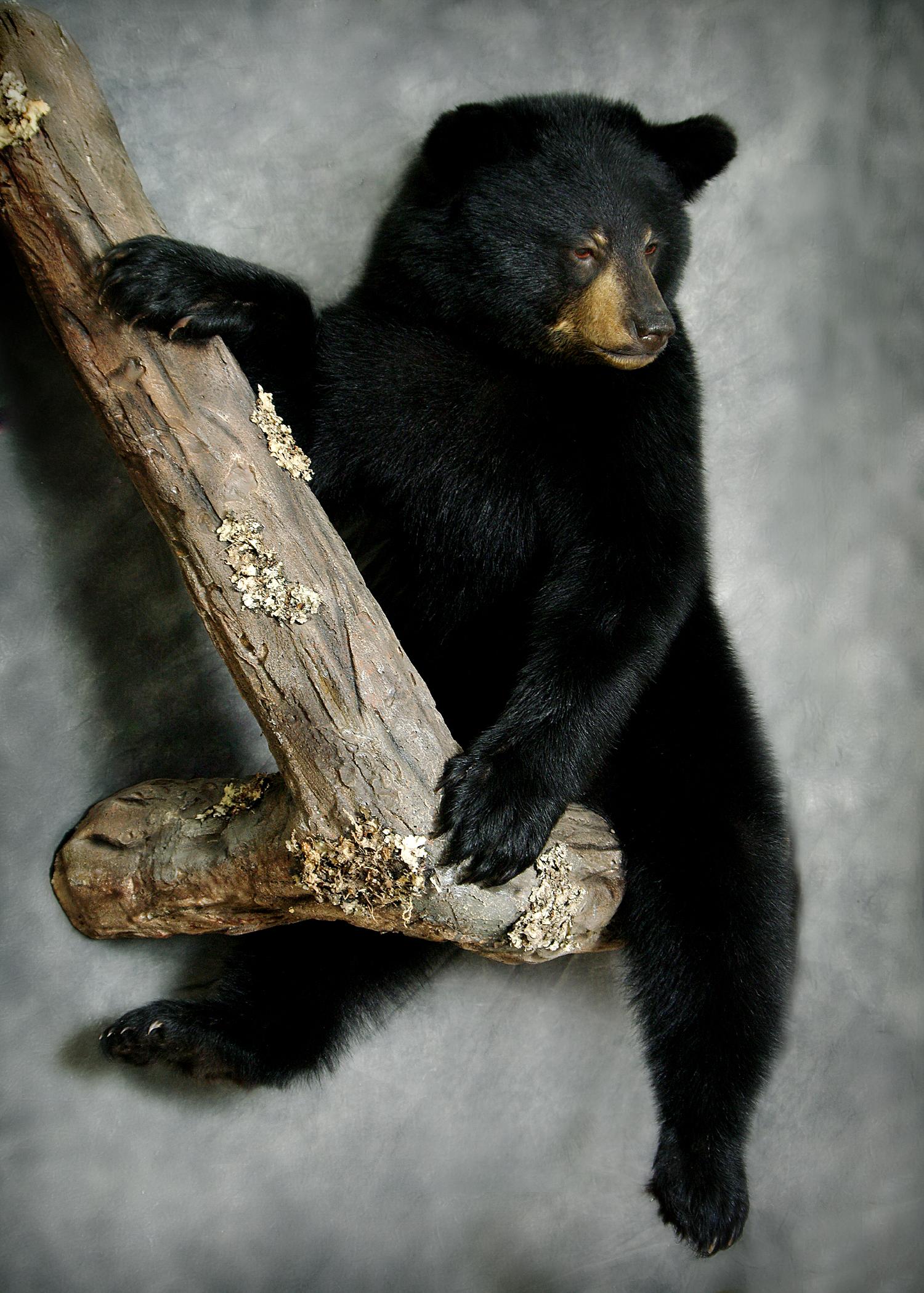 35 American Black Bear