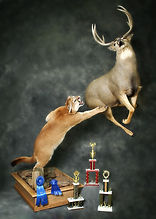 """Justin Pohl's """"Leap of Faith"""" taxidermy project for the first time is to wonder how he managed to create a full mount of an attacking mountain lion and a large mule deer buck..."""