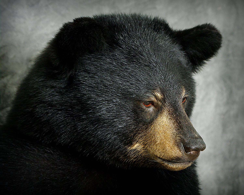 37 American Black Bear