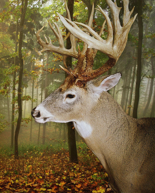 42 Whitetail Deer