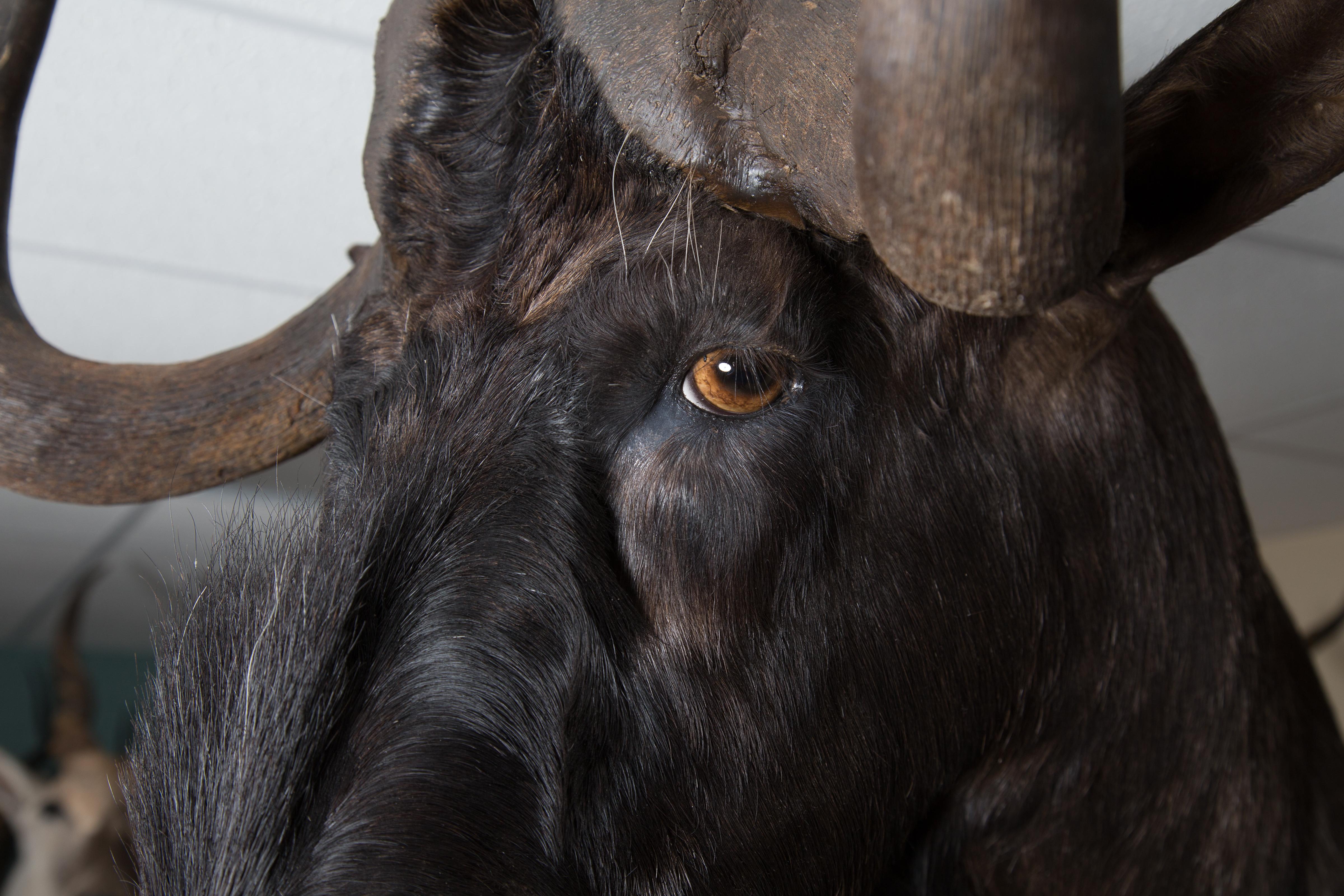 13 Black Wildebeest