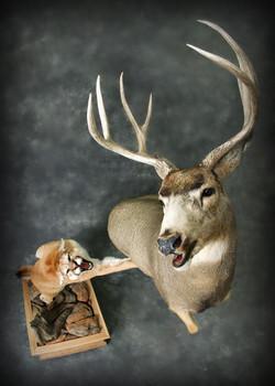 25 Mountain Lion   Mule Deer