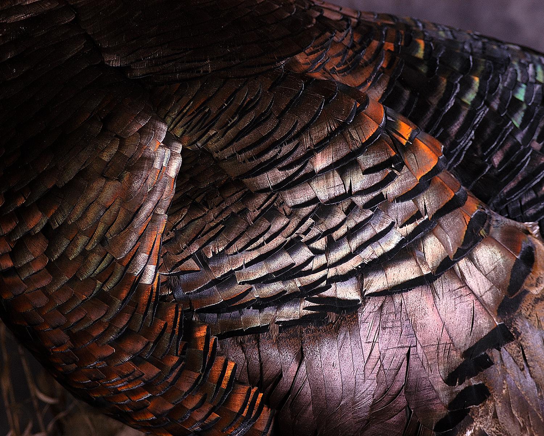 10 Wild Turkey