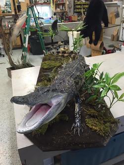 2 Alligator