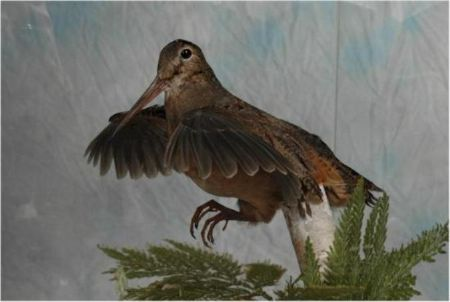 19 Woodcock