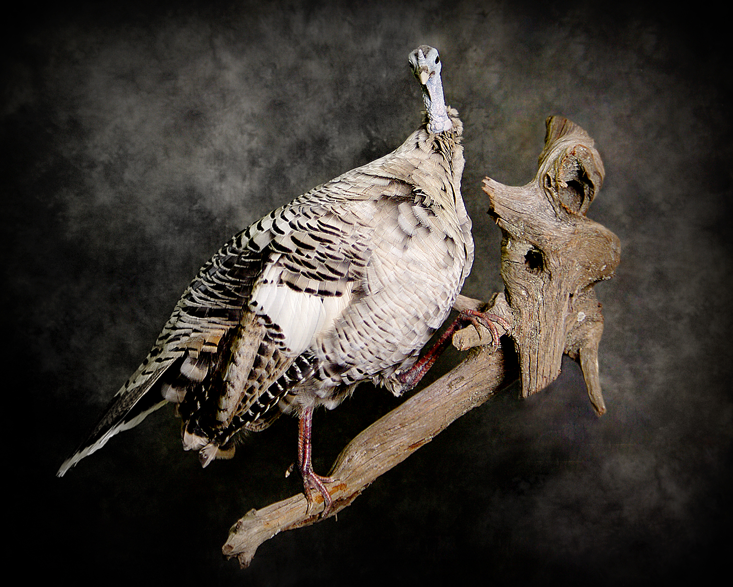 White Wild Turkey