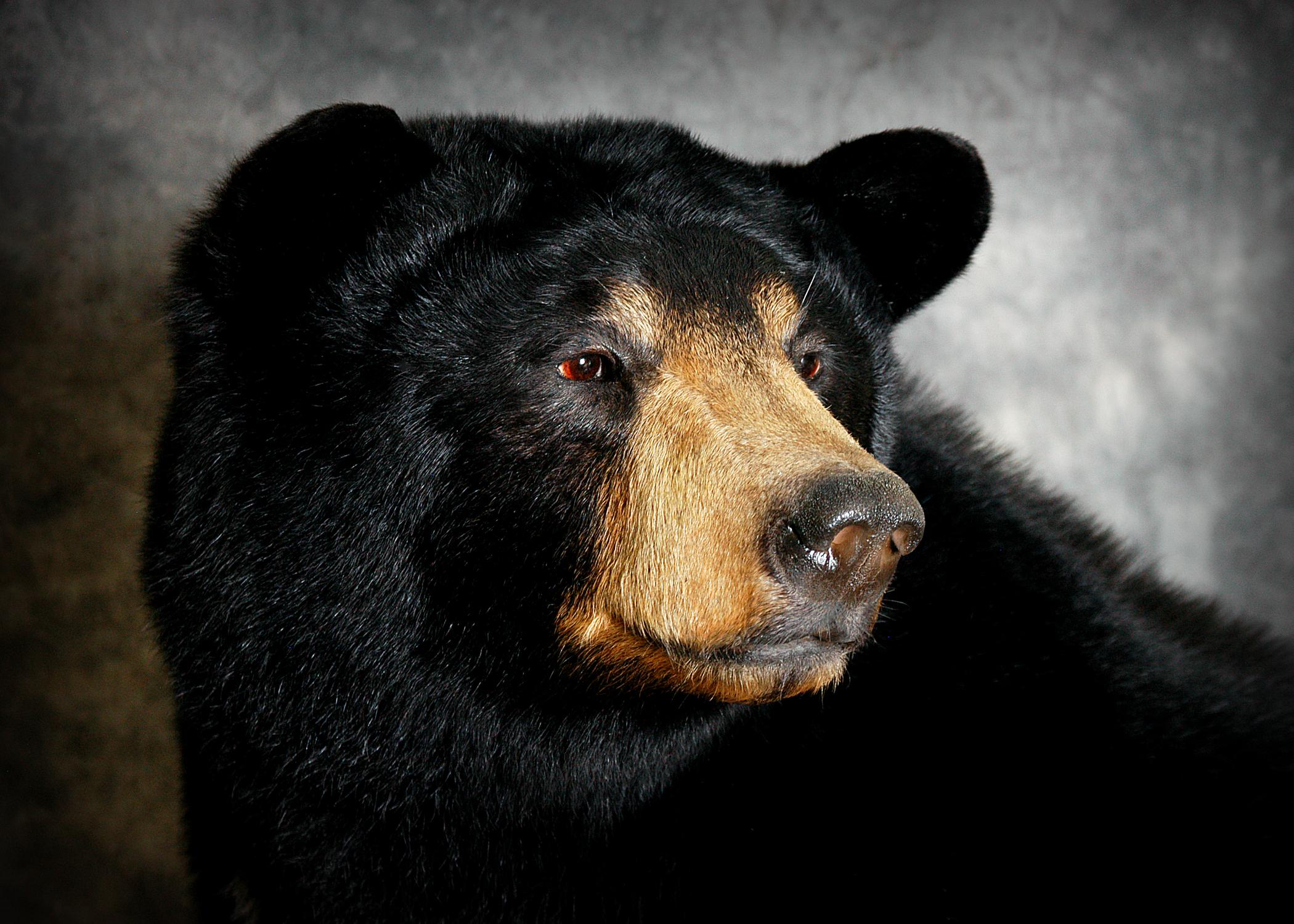 4 Michigan Black Bear