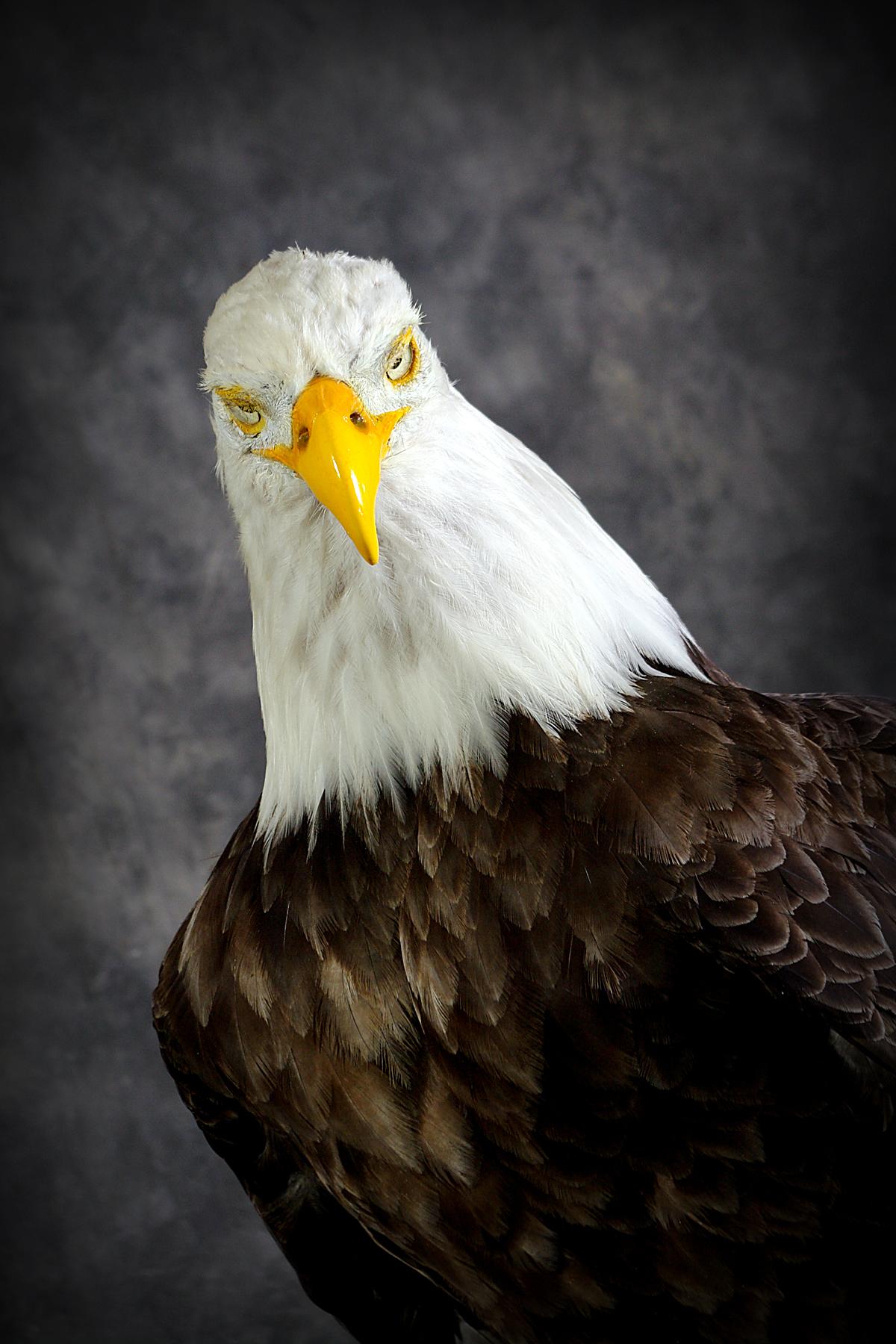 5 American Bald Eagle