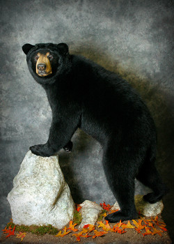 1 Michigan Black Bear