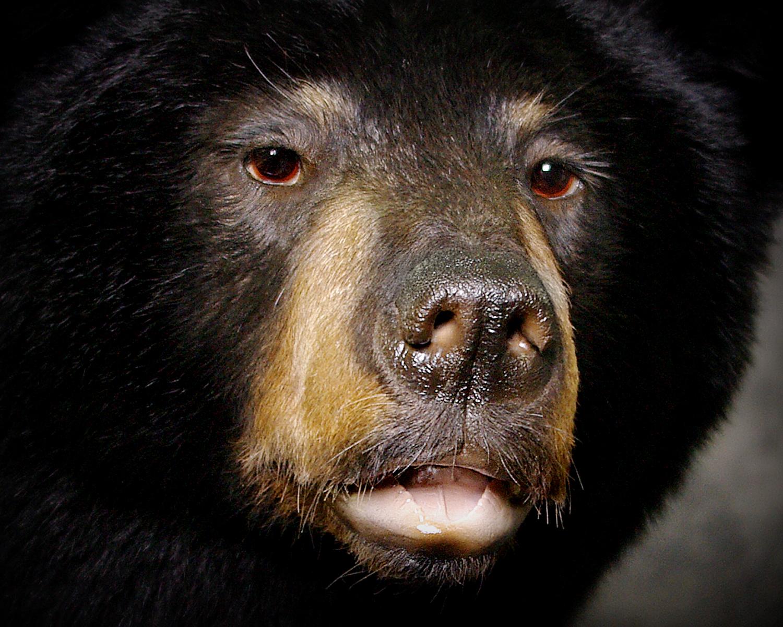 23 Coastal Black Bear