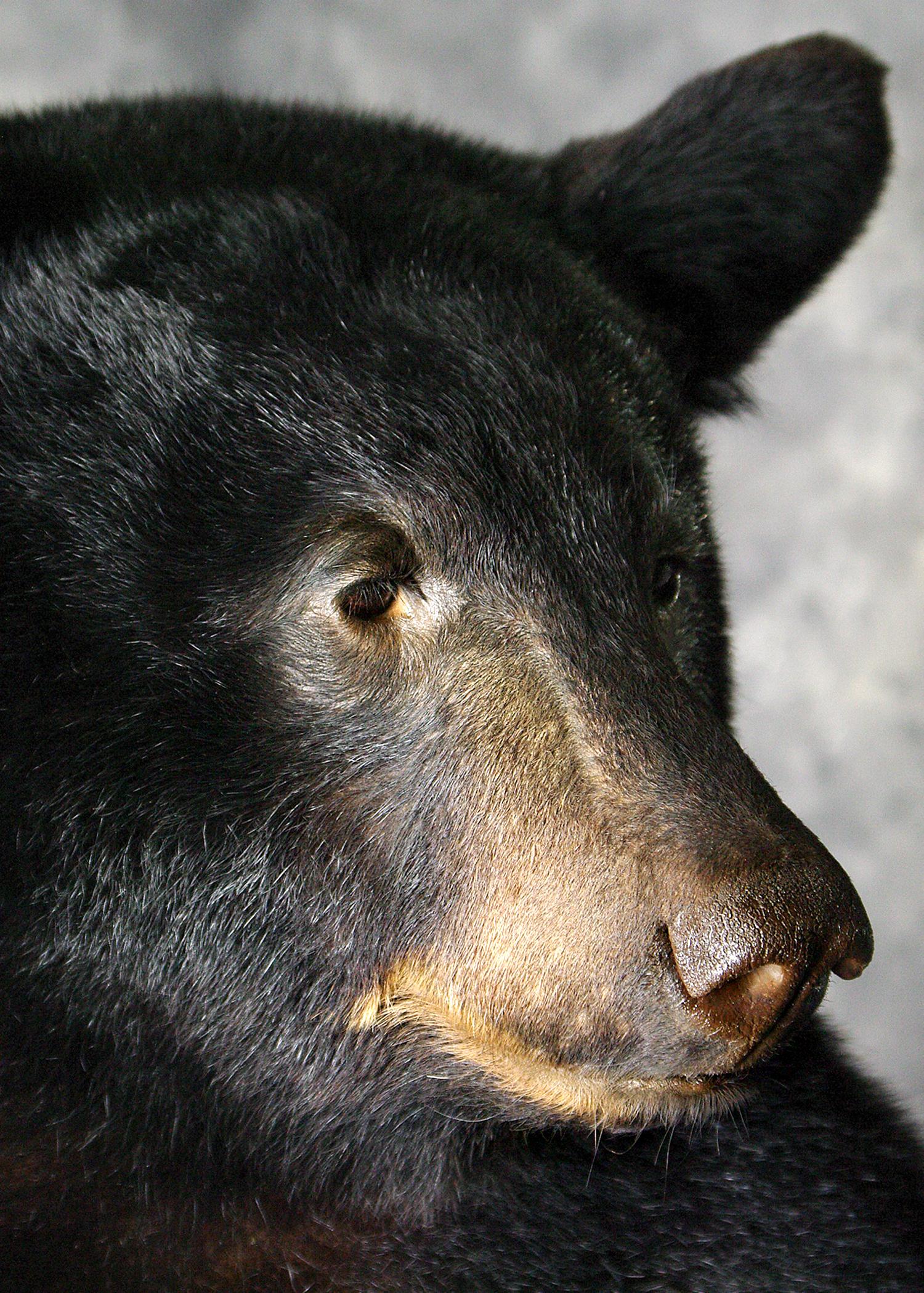 41 Coastal Black Bear