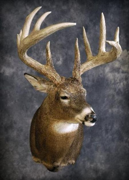 51 Whitetail Deer