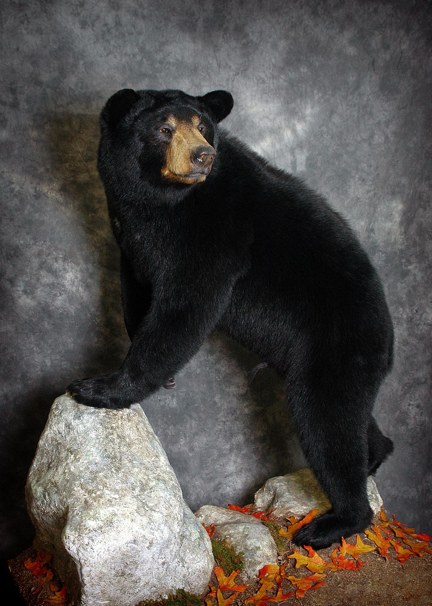 2 Michigan Black Bear