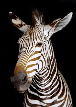 46 Zebra