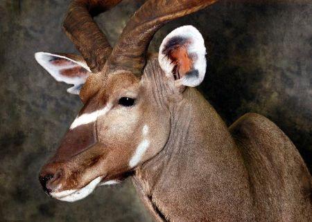 16 Kudu