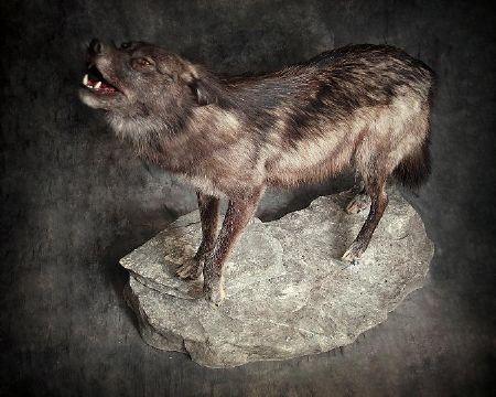 143-wolfe