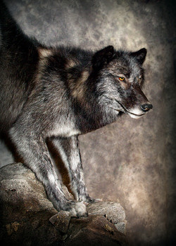 27 Black Wolf