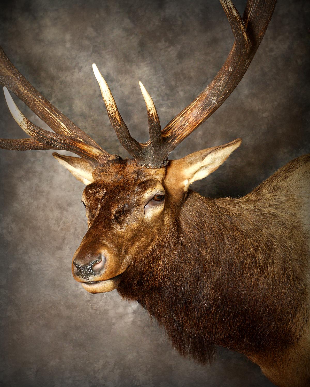 16 Elk