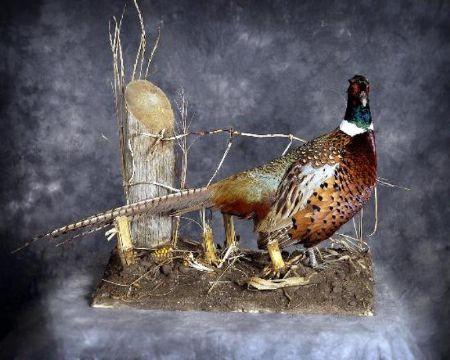 14 Pheasant